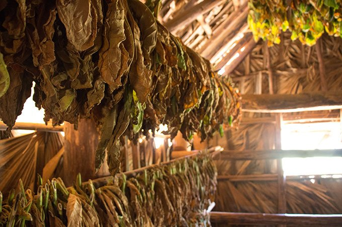 Tobacco leaves in Vinales, Cuba